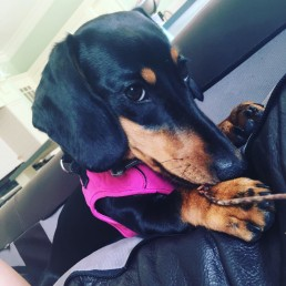 Daisy Duke the Dachshund